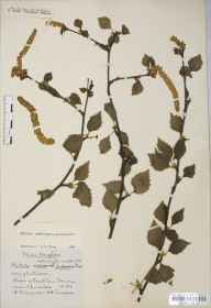Betula pendula x pubescens = B. x aurata herbarium specimen from Durdham Down, VC34 West Gloucestershire in 1922 by Mr Harold Stuart Thompson.