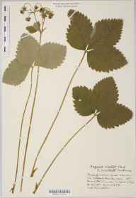 Fragaria moschata herbarium specimen from Monkton Coombe, VC7 North Wiltshire in 1933 by Mr Harold Stuart Thompson.