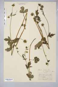 Geum rivale x urbanum = G. x intermedium herbarium specimen from Millers Dale, VC57 Derbyshire in 1879 by William West (Bradford).