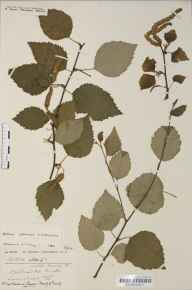Betula pendula x pubescens = B. x aurata herbarium specimen from Bristol, VC6,VC34 in 1919 by Mr Harold Stuart Thompson.