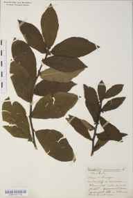 Mespilus germanica herbarium specimen from Clevedon, VC6 North Somerset in 1916 by Mr Harold Stuart Thompson.