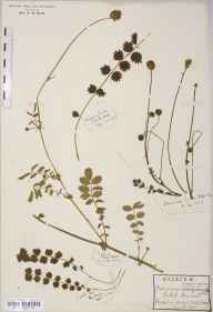 Sanguisorba minor subsp. muricata herbarium specimen from Bush End, VC19 North Essex in 1912 by Rev Douglas Montague Heath.