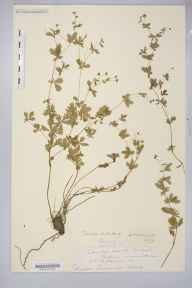 Potentilla erecta herbarium specimen from Catbrook, VC35 Monmouthshire in 1891 by Rev. Augustin Ley.