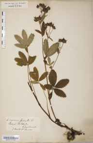 Potentilla palustris herbarium specimen from Kildale, VC62 North-east Yorkshire in 1853 by William A Mudd.