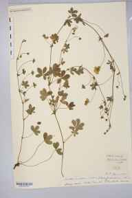 Potentilla anglica x reptans = P. x mixta herbarium specimen from Noke Lane, VC36 Herefordshire in 1893.