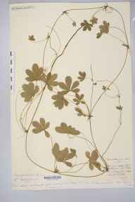 Potentilla anglica x reptans = P. x mixta herbarium specimen from Haugh Wood, VC36 Herefordshire in 1891 by Rev. Augustin Ley.