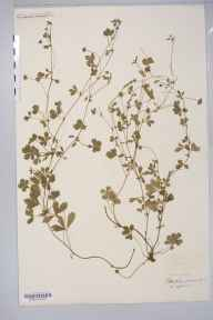 Potentilla anglica x reptans = P. x mixta herbarium specimen from Glynhir Mansion, VC44 Carmarthenshire in 1897 by Rev. Augustin Ley.