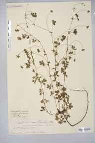 Potentilla anglica x reptans = P. x mixta herbarium specimen from Llanthony, VC35 Monmouthshire in 1886 by Rev. Augustin Ley.