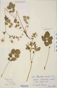 Potentilla rupestris herbarium specimen from Stapleford, VC8 South Wiltshire in 1876 by Rev William Moyle Rogers.