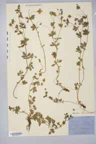 Potentilla erecta x anglica = P. x suberecta herbarium specimen from Cwm Twrch, VC46 Cardiganshire in 1896 by Rev. Augustin Ley.