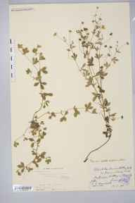 Potentilla erecta x anglica = P. x suberecta herbarium specimen from Edge Green, VC58 Cheshire in 1894 by Mr Anthony Hurt Wolley Dod.