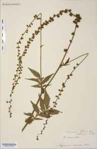 Agrimonia procera herbarium specimen from Whitbourne, VC36 Herefordshire in 1907 by Rev. Augustin Ley.