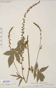 Agrimonia procera herbarium specimen from Pont-faen, VC42 Breconshire in 1906 by Rev. Augustin Ley.