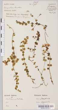 Anagallis tenella herbarium specimen from Folkestone, VC15 East Kent in 1873 by Dr Robert Large Baker.