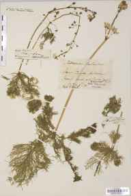 Hottonia palustris herbarium specimen from River Axe, VC6 North Somerset by Mr William Booth Waterfall.