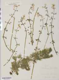 Hottonia palustris herbarium specimen from Rawcliffe, VC63 South-west Yorkshire in 1878.