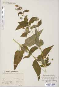 Lysimachia ciliata herbarium specimen from Butterston Loch, VC89 East Perthshire in 1932 by Mr Job Edward Lousley.