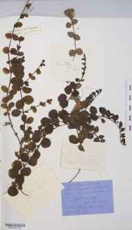 Lysimachia nummularia herbarium specimen from Aberystwyth, VC46 Cardiganshire in 1898 by Mr Langley Kitching.