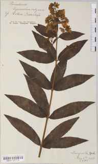 Lysimachia vulgaris herbarium specimen from Langwith, VC61 South-east Yorkshire in 1885 by Mr Harold Stuart Thompson.