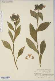 Pulmonaria officinalis herbarium specimen from Winscombe, VC6 North Somerset in 1918 by Mr Harold Stuart Thompson.