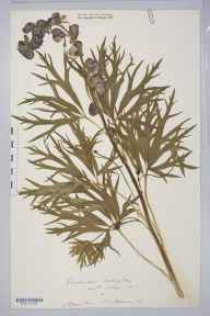 Aconitum napellus herbarium specimen from Hoarwithy, VC36 Herefordshire in 1886 by Rev. Augustin Ley.