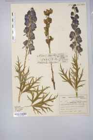 Aconitum napellus herbarium specimen from Milverton, VC5 South Somerset in 1898 by Mr Harold Stuart Thompson.