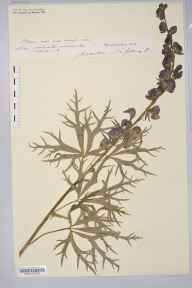 Aconitum napellus herbarium specimen from Ashperton, VC36 Herefordshire in 1886 by Rev. Augustin Ley.