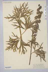 Aconitum napellus herbarium specimen from Hoarwithy, VC36 Herefordshire in 1848 by Abraham Taylor Willmott.