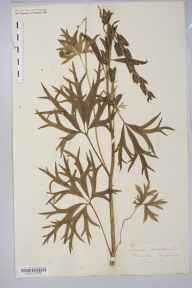 Aconitum napellus herbarium specimen from Hoarwithy, VC36 Herefordshire in 1869 by Rev. Augustin Ley.