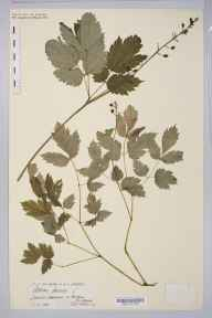 Actaea spicata herbarium specimen from Malham, VC64 Mid-west Yorkshire in 1890 by Rachel Ford Thompson.