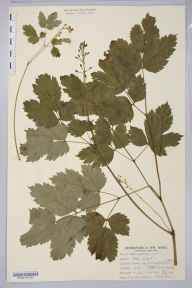 Actaea spicata herbarium specimen from Moughton Fell, VC64 Mid-west Yorkshire in 1889 by William West.