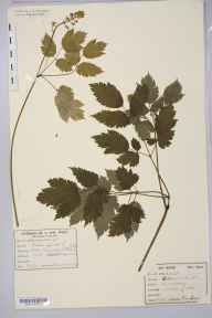Actaea spicata herbarium specimen from Wetherby, VC64 Mid-west Yorkshire in 1877 by Dr Thomas Gough.
