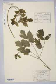 Actaea spicata herbarium specimen from Liley Wood, Mirfield, VC63 South-west Yorkshire in 1887 by Dr Frederick Arnold Lees.