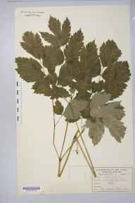 Actaea spicata herbarium specimen from Forge Valley, VC62 North-east Yorkshire in 1890 by William West (Bradford).