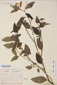 Impatiens biflora herbarium specimen from Enborne, VC22 Berkshire in 1896 by Mr Albert Bruce Jackson.