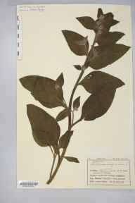 Pentaglottis sempervirens herbarium specimen from Pendennis Castle, VC1 West Cornwall in 1909 by Mr Charles Bailey.
