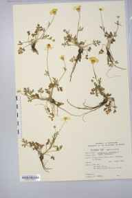 Ranunculus bulbosus herbarium specimen from Freshwater West, VC45 Pembrokeshire in 1971 by Susan Margaret Coles.