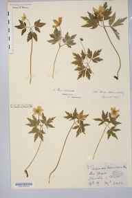 Anemone nemorosa herbarium specimen from Staverton, VC3 South Devon in 1889 by Mrs Elizabeth Anne Lomax.