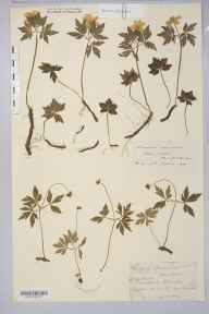 Anemone nemorosa herbarium specimen from Sellack, VC36 Herefordshire in 1902 by Rev. Augustin Ley.