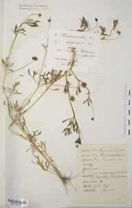 Ranunculus arvensis herbarium specimen from Coughton Reservoir, VC37 Worcestershire in 1893 by W Duncan.