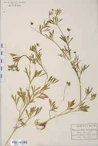 Ranunculus arvensis herbarium specimen from Bush End, VC19 North Essex in 1912 by Rev Douglas Montague Heath.