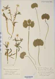 Ranunculus auricomus herbarium specimen from Clifton, VC34 West Gloucestershire in 1920 by Mr Harold Stuart Thompson.