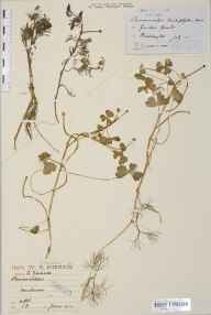 Ranunculus baudotii herbarium specimen from Foulness, VC18 South Essex in 1914 by William Robert Sherrin.