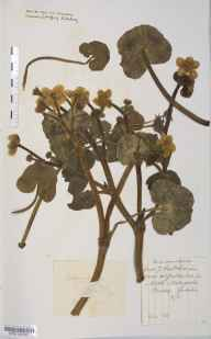 Caltha palustris var. guerangerii herbarium specimen from Bewdley, VC37 Worcestershire in 1898 by Mr Langley Kitching.