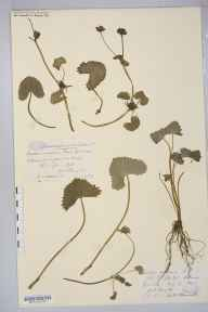 Caltha palustris var. radicans herbarium specimen from Reigate, VC17 Surrey in 1889 by Mr William Hadden Beeby.