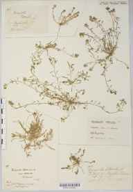 Corrigiola litoralis herbarium specimen from Chelsea Physic Garden, VC21 Middlesex in 1849 by Thomas Moore.