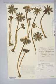 Eranthis hyemalis herbarium specimen from Wetherby, VC64 Mid-west Yorkshire in 1877 by Mr Langley Kitching.
