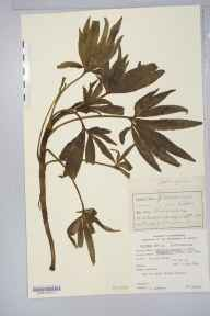 Helleborus viridis subsp. occidentalis herbarium specimen from Cotswold Hills, VC33 East Gloucestershire in 1860 by J Pumphrey.
