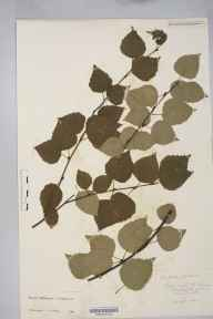 Betula pendula x pubescens = B. x aurata herbarium specimen from Great Doward, VC36 Herefordshire in 1901 by Rev. Augustin Ley.