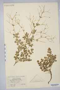 Thalictrum minus herbarium specimen from VC42 Breconshire in 1899 by Rev. Augustin Ley.